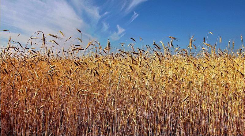 Золото камышинских полей