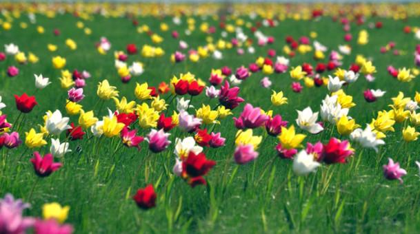 Прощайте, гордые тюльпаны!