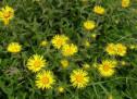 Описание, химический состав травы девясил